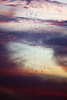 Abdim's storks in a storm (Etosha, 2013).jpg