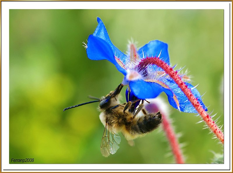 File:Abeja libando una borraja 04 - bee sucking a borage flower - abella libant una borraina (2343956800).jpg
