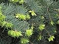 Abies concolor 'Compacta' Jodła jednobarwna 2010-05-15 02.jpg