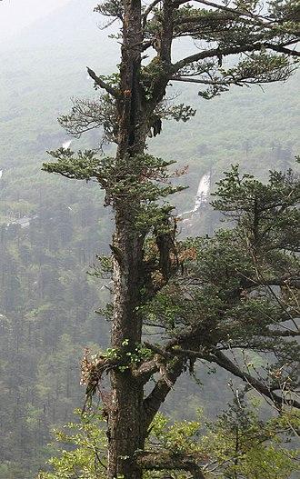 Abies fabri - Image: Abies fabri trunk