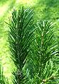 Abies sachalinensis var. mayriana - Bergianska trädgården - Stockholm, Sweden - DSC00513.JPG