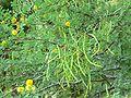 Acacia constricta pods.jpg