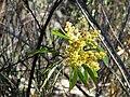 Acacia rubida (37804718902).jpg