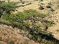 Acacia sieberiana var woodii, habitus, Melmoth, b.jpg