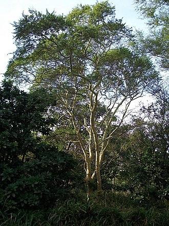 Vachellia xanthophloea - Image: Acacia xanthophloea Umdoni Bird S