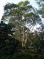 Acacia xanthophloea Umdoni Bird S.JPG