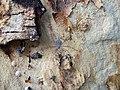 Acacia xanthophloea spider.JPG