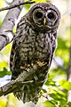 Acadia National Park, barred owl.jpg