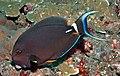 AcanthurusleucocheilusTulambenBali(14).jpg