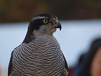 Accipiter gentilis -upper body-8a.jpg