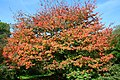 Acer cissifolium JPG1b.jpg