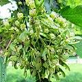 Acer ginnala flowers.jpg