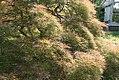 Acer palmatum var. dissectum Ornatum 1zz.jpg