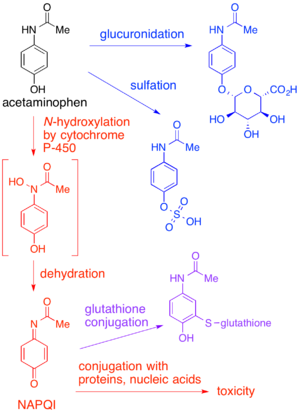 NAPQI - Acetaminophen (paracetamol) metabolism (click to enlarge). Pathways shown in blue and purple lead to non-toxic metabolites; the pathway in red leads to NAPQI, which is toxic if not conjugated to glutathione.