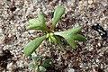 Achillea millefolium kz05.jpg