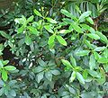 Acokanthera oblongifolia - poison arrow plant - from-DC1.jpg