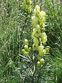 Aconitum anthora001.jpg
