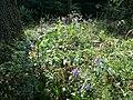 Aconitum variegatum subsp. variegatum sl46.jpg