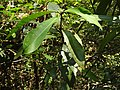 Actephila excelsa-1-mundanthurai-tirunelveli-India.jpg