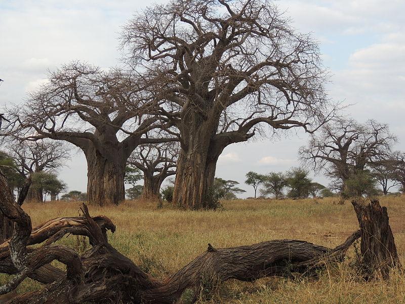 File:Adansonia digitata - baobabs.JPG