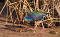 African Purple Swamphen, Porphyrio porphyrio at Marievale Nature Reserve, Gauteng, South Africa. (15135365518).jpg