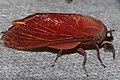 African Wild Silk Moth (Gonometa rufobrunnea) male (17276044906).jpg