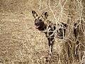 Afrikaanse Wilde Hond (6290417507).jpg