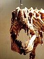 Afrovenator skull.jpg
