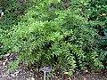 Agarista populifolia 'Taylor's Treasure' - J. C. Raulston Arboretum - DSC06231.JPG