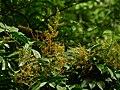 Aglaia spectabilis flower 2483.jpg