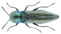 Agrilus viridicoerulans rubi Schaefer, 1937.png
