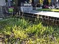 Agrostis stolonifera sl1.jpg