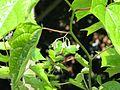 Alangium platanifolium - Flickr - peganum (2).jpg