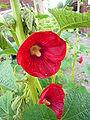 Alcea rosea (P1080347).jpg