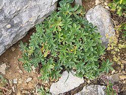 Alchemilla alpina.JPG