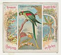 Alexandrine Ring Parakeet, from Birds of the Tropics series (N38) for Allen & Ginter Cigarettes MET DP839010.jpg