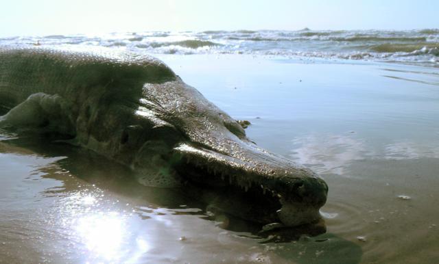 File Alligator Gar Png Wikimedia Commons