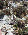 Allium flavum 08072001 2.JPG