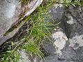 Allium kiiense kiiitorkkou01.jpg