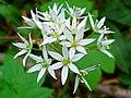 Allium ursinum 003.JPG