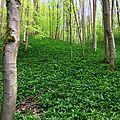 Allium ursinum field near Osterode im Harz.jpg