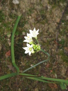 Allium zebdanense01