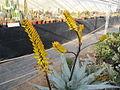 Aloe (4508486279).jpg
