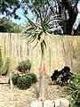 Aloe dichotoma - Val Rahmeh - DSC04334.JPG