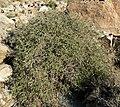 Aloysia wrightii 1.jpg