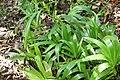 Alpinia zerumbet 40zz.jpg
