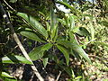 Alstonia constricta leaves.jpg