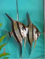 The Angelfish, see their wings