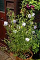 Alyogyne x Ruth Bancroft at Boreham, Essex, England 4.jpg