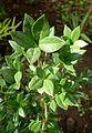 Alyxia ruscifolia kz1.jpg